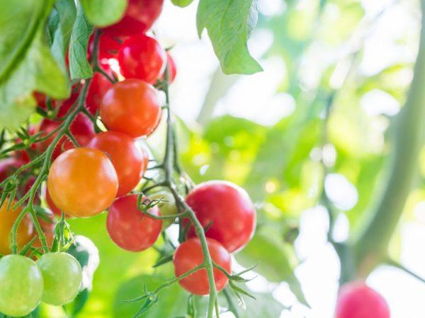 Помидоры лучше выращивать на южном окне
