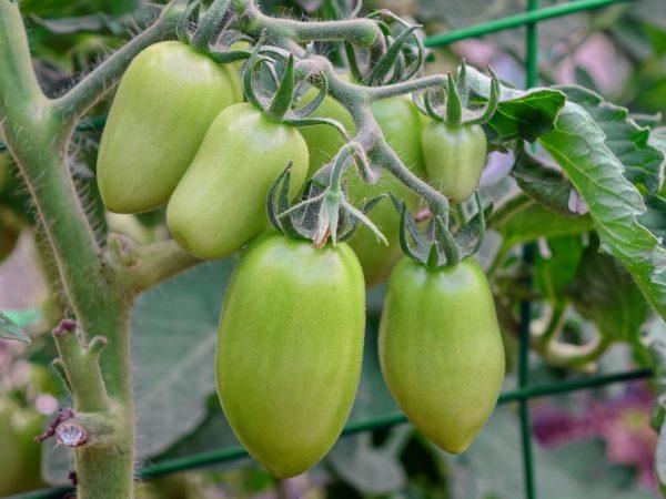 Только при правильном уходе можно рассчитывать на хороший урожай