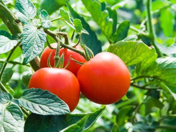 Характеристика томатов сорта Дачник