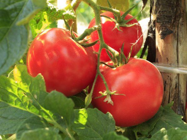 Плоды среднего размера и аккуратной формы