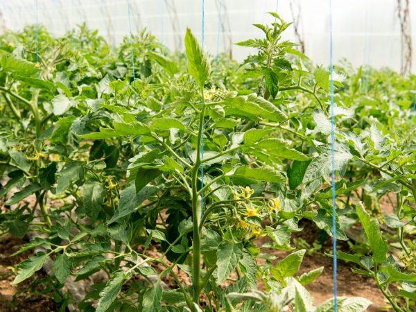 Растению необходимо пасынкование