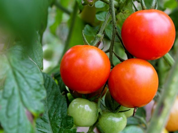 Плоды обладают нежной мякотью