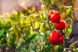 Описание томатов сорта Дубок