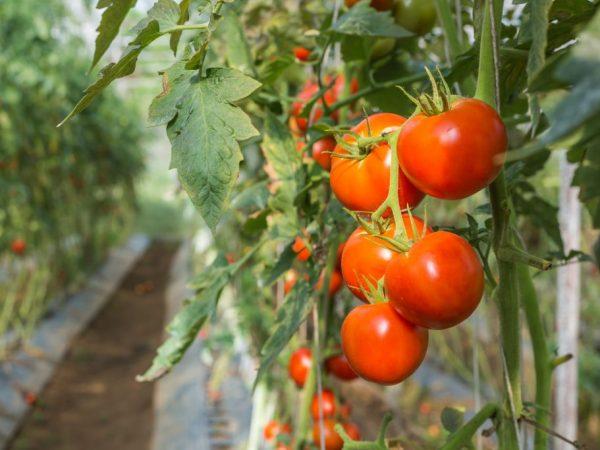 Описание томатов сорта Джина