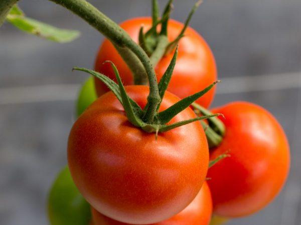 Ухаживание за томатом не потребует усилий