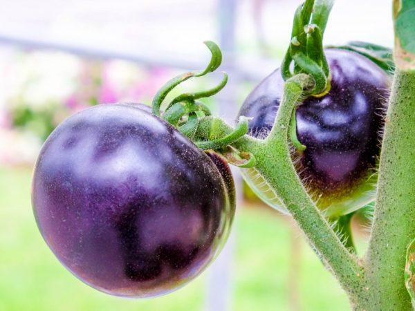 Разновидности фиолетовых помидор