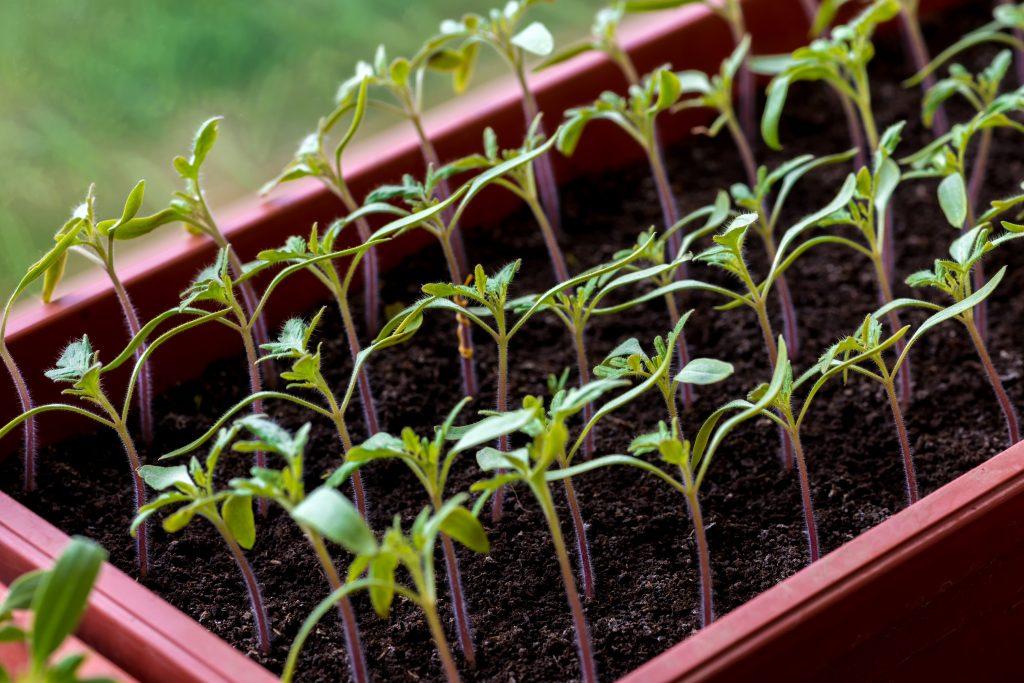 Признаки нитратов в помидорах фото