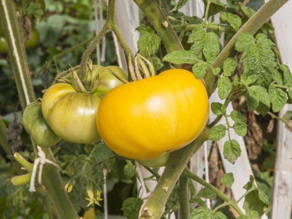 Сорт обладает высокой урожайностью