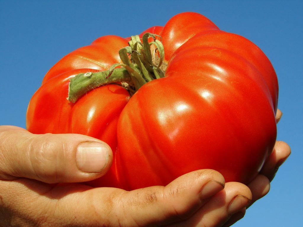 """Томат """"Красный гигант"""": характеристика и описание сорта помидор, отзывы и фото"""