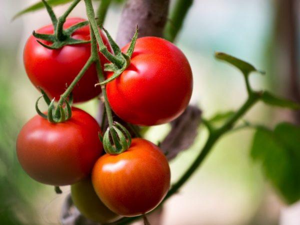 Должный уход обеспечит хороший урожай