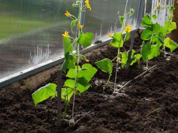 Сорт можно выращивать только в тепличных условиях