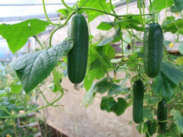 Подкормка ускоряет завязывание и рост плодов