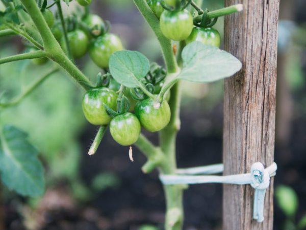 Правила подвязывания помидоров
