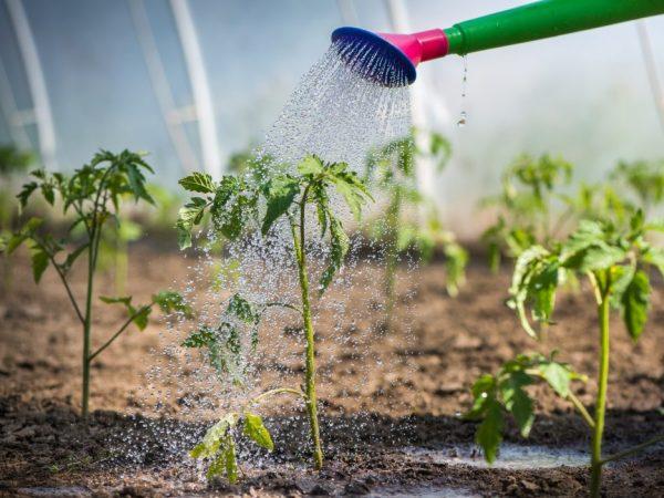 Правила полива рассады томатов