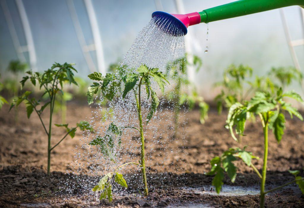 Особенности ухода и полива рассады помидор