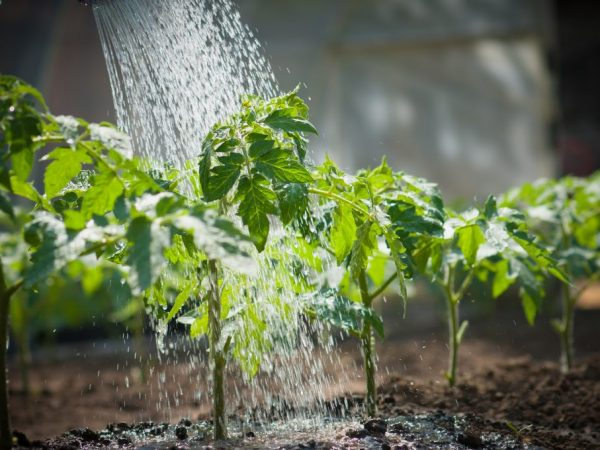 Поливайте растения по мере необходимости