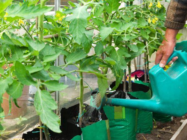 Раствор поможет насытить томаты азотом