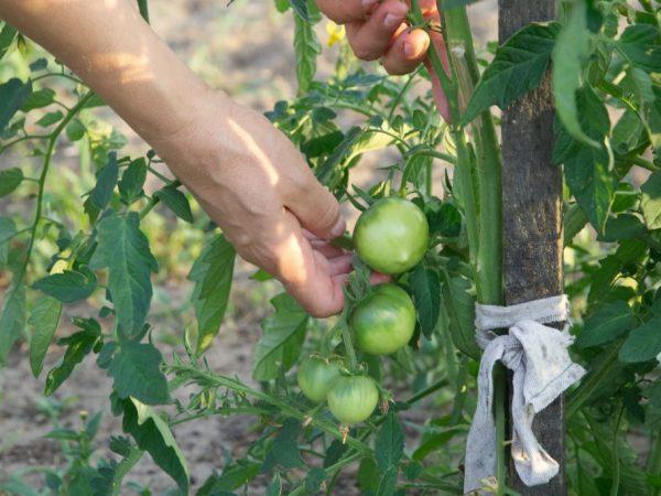 Формирование в один стебель повышает урожайность растения