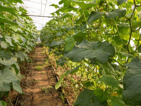 Для обогрева растений не подойдут печки и конвекторы