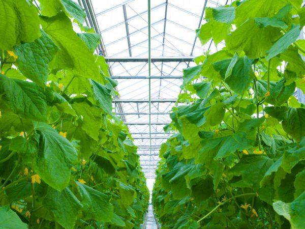 технология выращивания огурцов в теплице зимой