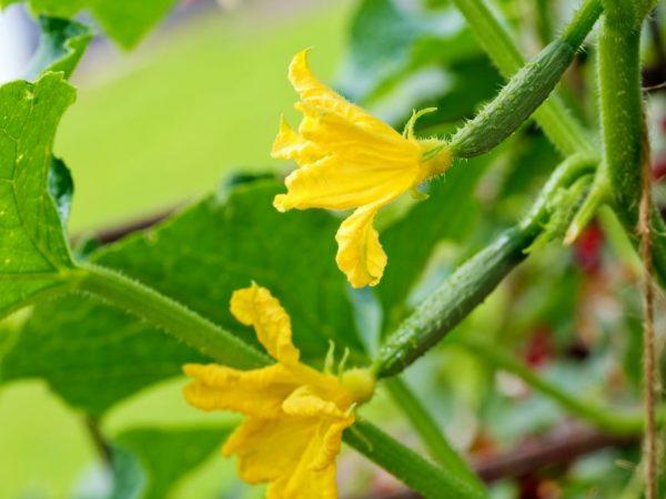 Растение даст больше урожая в тепличных условиях