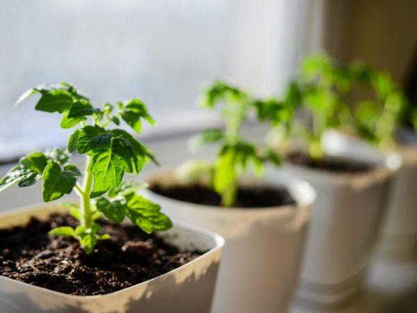 Выращивание рассады томатов в Сибири