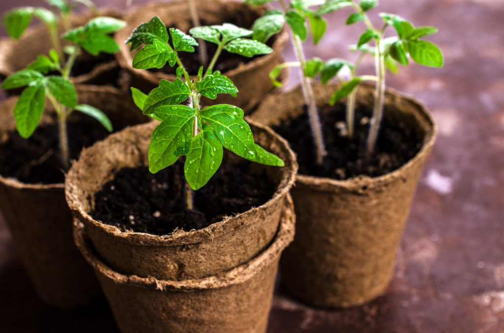 Когда можно сажать помидоры на рассаду и в грунт: рассчитываем дату посадки семян и садим готовую рассаду