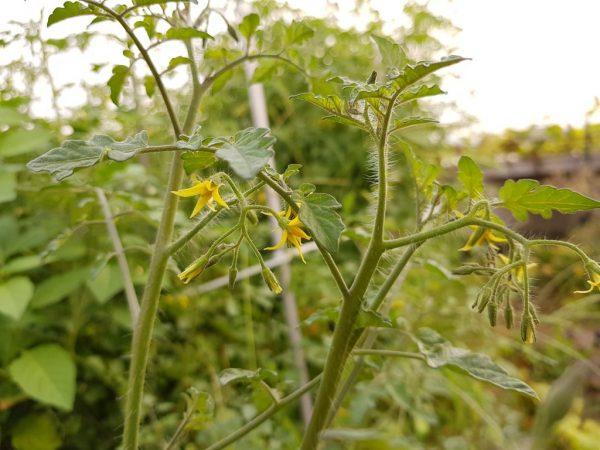 Для повышения урожайности нужно правильно сформировать куст