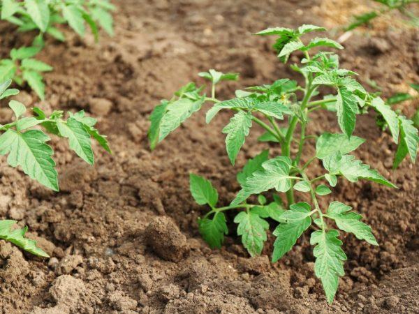 Перед посадкой в грунт растения можно подкормить