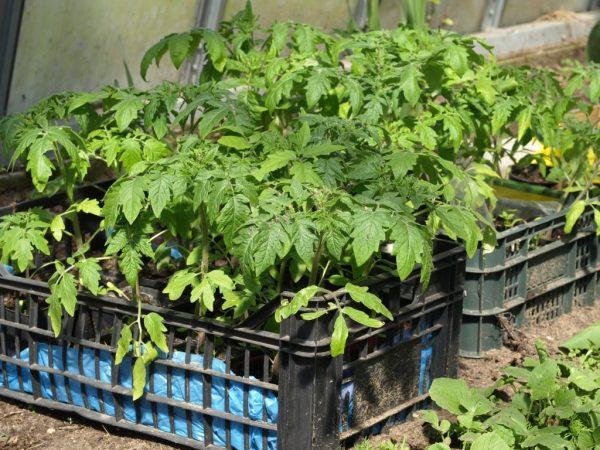 Рассаду следует садить в нейтральную почву