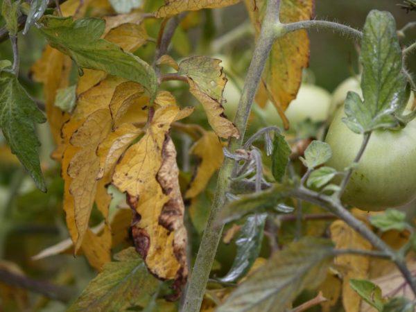 Листья томата при хлорозе: признаки и лечение