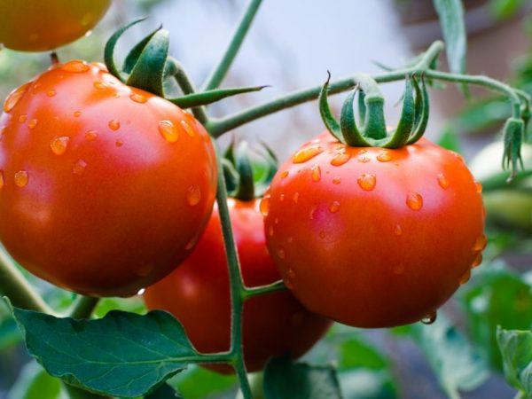 Описание лучших сортов томатов 2018 года