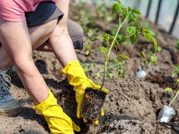 Тщательный уход обеспечит хорошим урожаем