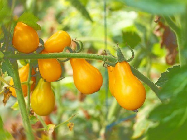 Характеристика томата Медовая Капля