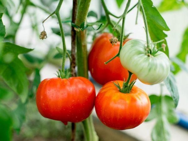 Плоды ценятся за вкусовые качества