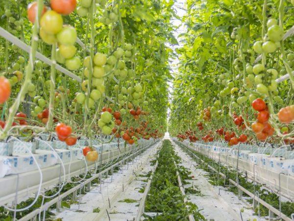 Гидропоника помидоры в домашних условиях Трип безкидалова Новотроицк