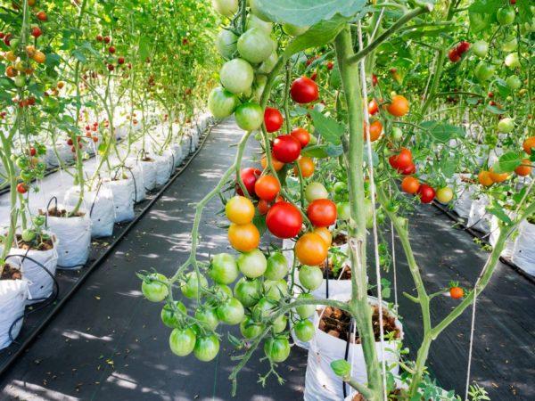 Размер горшка для помидор гидропоника скачать бесплатно игру на телефон тотали спайс