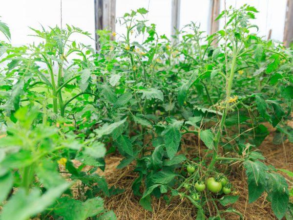 Виды подкормки томатов народными средствами