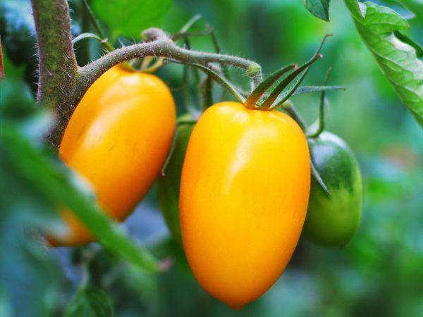 Плоды могут хранится продолжительное время