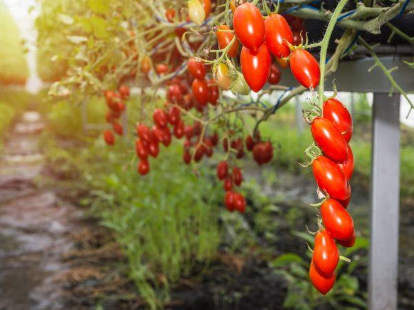 Сорт 11 можно выращивать в любых условиях