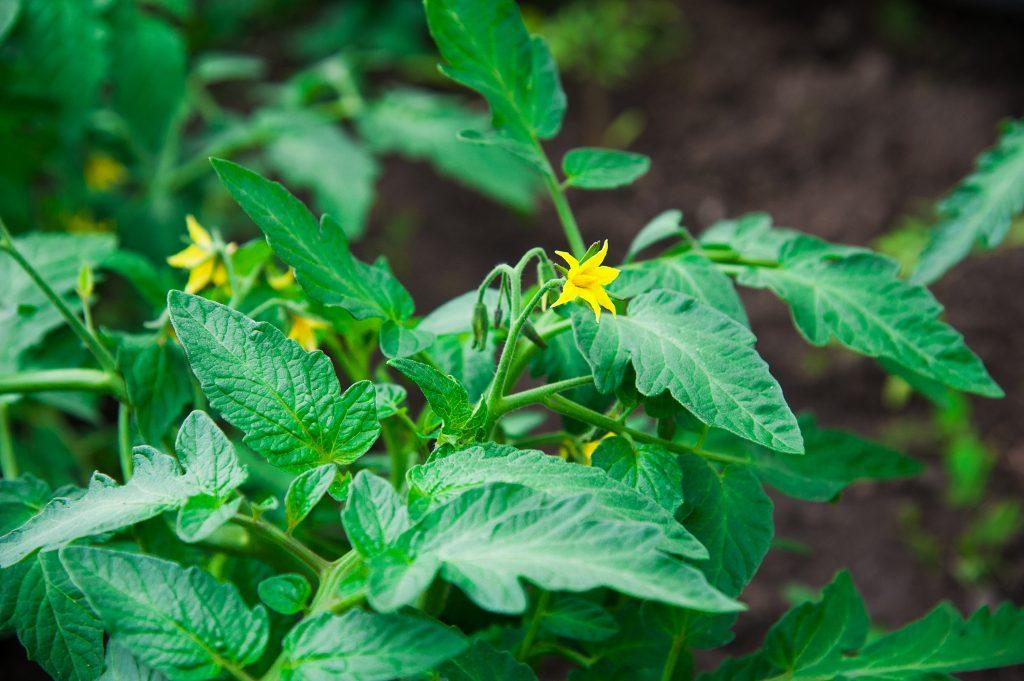 Чем обработать томаты от болезней