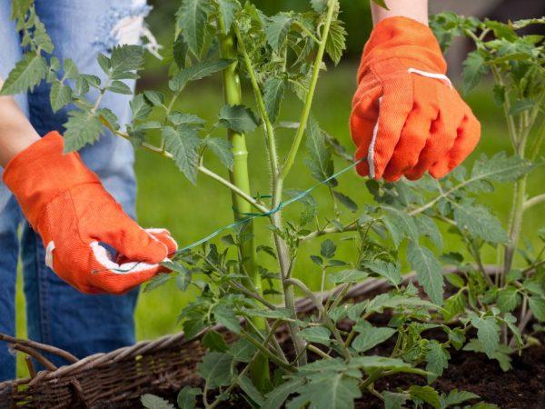 Правильный уход позволит собрать хороший урожай