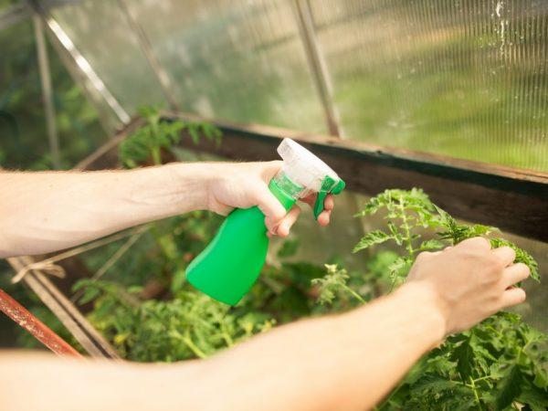 Перекись водорода для томатов