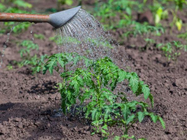 Польза подкормки томатов перекисью водорода