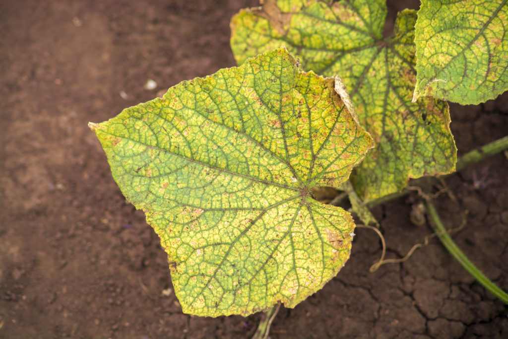 Агроном: Симптомы и методы лечения пероноспороза огурцов в 2019 году
