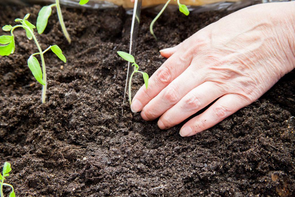 Выращивание помидор по ганичкиной — Дачное хозяйство