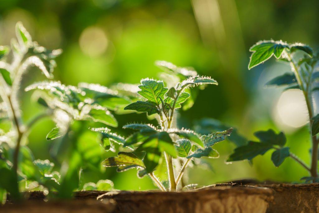 Почему рассада помидор плохо растет в теплице