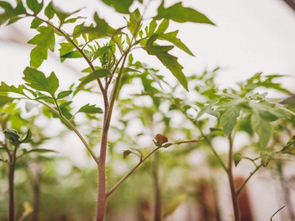 Причины плохого роста рассады помидор