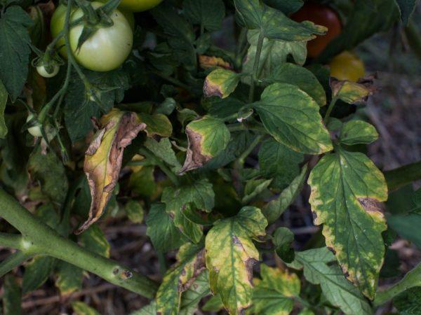 Причины заболеваний рассады томатов