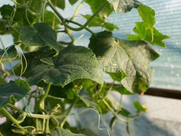 Подкормка растений стимулирует рост